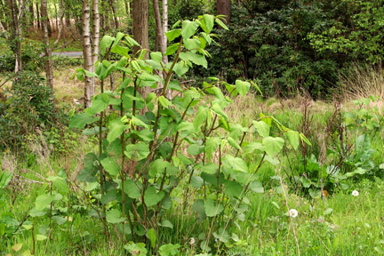 Japanese knotweed Claims_DN MANLEY